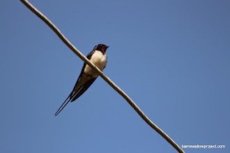 Photo: A barn swallow shot where you can actually see some colors (they're very pale-breasted, compared to most other subspecies)