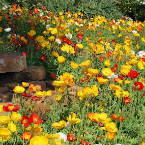 Poppies by Lana Kirstein - Flowers Flower Gardens ( kleure bedding kleurvol blare klippe,  )