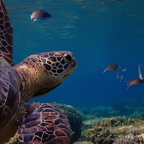 Sea turtle by Sergei Tokmakov - Animals Amphibians ( underwater, sea turtle, scuba, sea, ocean, diving, turtle,  )