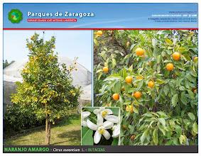 Photo: Naranjo amargo
