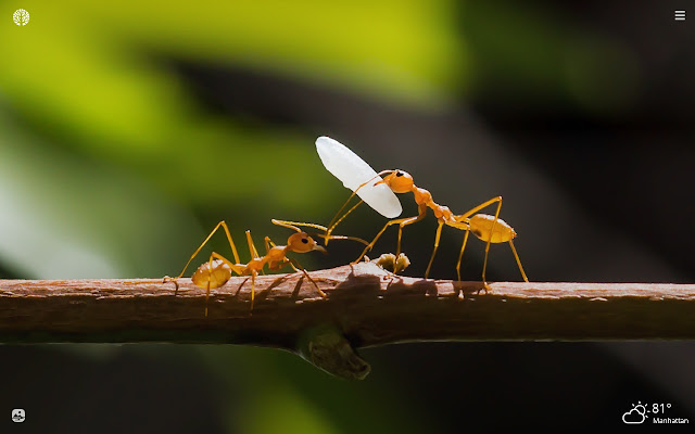 Ants HD Wallpapers New Tab Theme