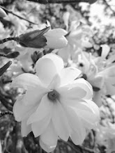 Photo: Black and white photo of magnolias at Cox Arboretum in Dayton, Ohio.