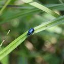 Mint blue beetle / Escarabajo azul de la menta