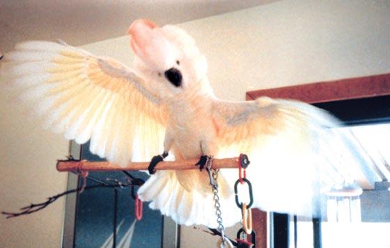 A juvenile Moluccan cockatoo in full display