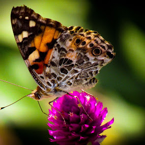 Painted lady butterfly by Scott Thomas - Animals Insects & Spiders ( #painted, #nature, #lady, #colorful, #butterfly )
