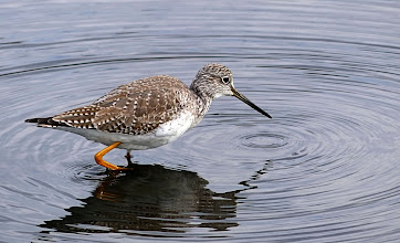 Photo: Not sure whether this is a Greater or Lesser Yellowlegs....