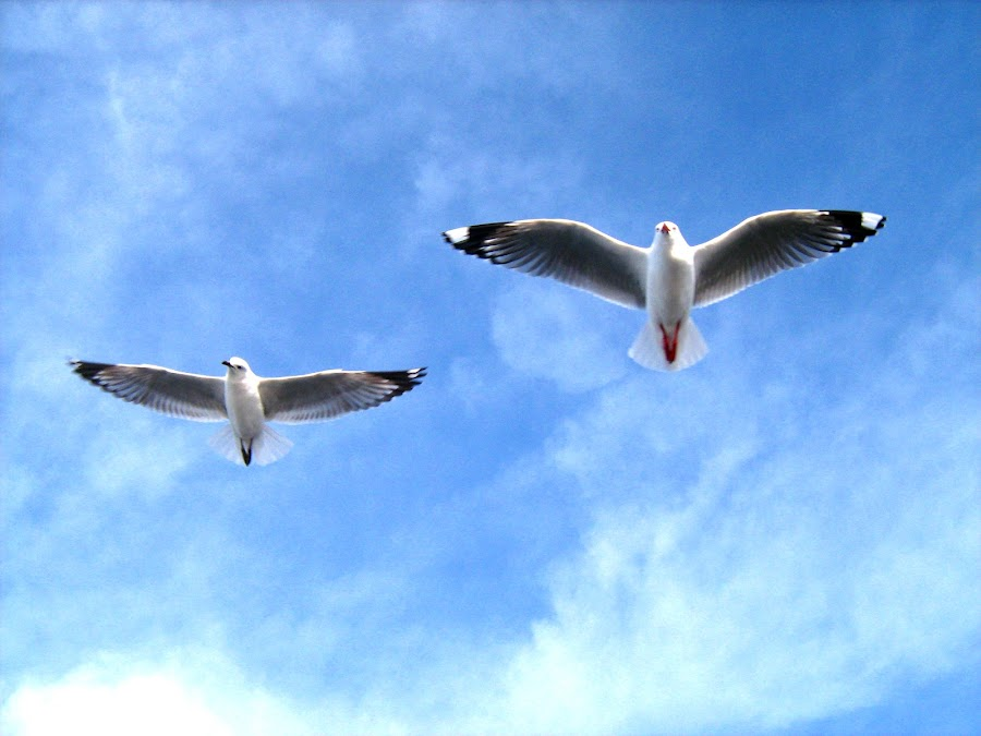 Seagull's by Alana Le Cren - Novices Only Wildlife ( seagulls, birds )