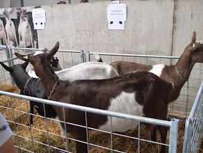 Photo: Presentatiegroep bonte geiten van B. Boer.