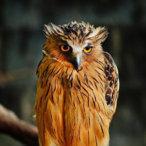 Owl by Sarol Glider - Animals Birds