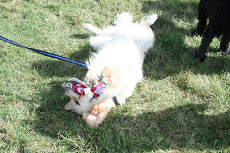 Photo: Hamish chewing on a tug toy (possibly borrowed from Jamie Golden...)