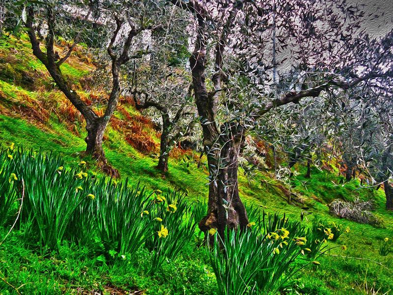 Scorcio di ulivi e tulipani di fasele72