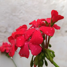 Other Red Drops by John Noone - Flowers Flower Gardens ( red, rain, geranium, macro, drops, flowers, garden, red geranium, water, nature photography, flower )