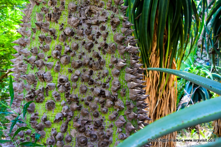 Кактусы и деревья с колючками в саду кактусов парка Яркон. Тель-Авив. Израиль. Chorisia speciosa. Бутылочное дерево. Фото гида в Израиле Светланы Фиалковой.