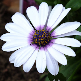 African Daisy by ChrisTina Shaskus - Flowers Single Flower (  )