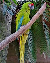 Photo: Großer Soldatenara (Ara ambiguus, Buffon's Macaw oder Great Green Macaw) Aufgenommen im Freigehege des Macaw Mountain Bird Park in Copán.