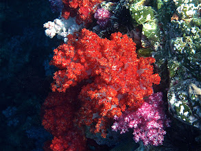 Photo: red and pink dendronephthya soft coral, Koh Chabang