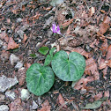 Alpine Cyclamen