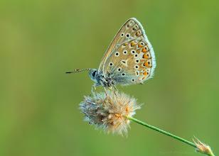 Photo: Azuré commun, Polyommatus icarus, Common Blue http://lepidoptera-butterflies.blogspot.fr