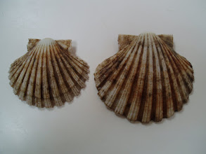 Photo: Vieira, (Pecten jacobaeus)