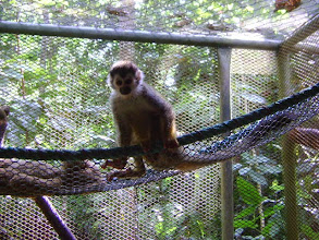 Photo: Adult Female Titi Monkey to be named Kiki of Jessica Foster & Cara Cunningham, on behalf of Class 3R, Midland School recovering from parasite infestation 4 2012