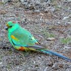 Mulga Parrot - male