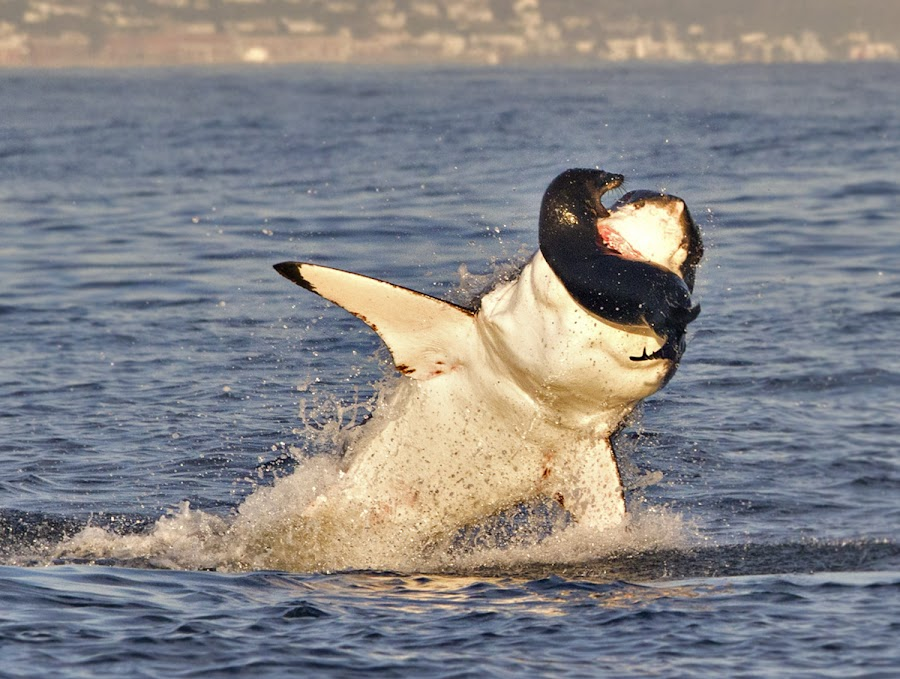 Going Down Biting by William Buchheit - Animals Sea Creatures ( seal, great white, hunt, shark, africa )