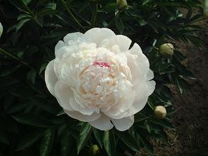 Photo: ラテンドレス 花弁数多く万重咲きの巨大輪で軸は堅く太い