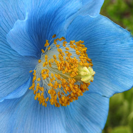Favorite Color  by Patricia Phillips - Flowers Single Flower ( flowers poppies blue )
