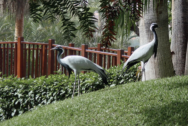 Natural flooring and a proper diet promote healthy feet, as in these demoiselle cranes