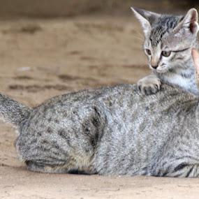 Teacher by Vivek Naik - Animals - Cats Playing ( cat )