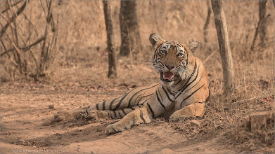 Photo: Tiger in India Raymond's Tiger Photography Tours in India  I am back to my home in India!  ray@raymondbarlow.com Nikon D810 ,Nikkor 200-400mm f/4G ED-IF AF-S VR 1/1000s f/6.3 at 350.0mm iso1000  #phototour   #naturephotos #animal #animalphotography  #wildlife #raymond #nature #wildlife #google #googlephotos  #naturephotography #wildlifephotography  #travelphotography  #wildography   #travel #phototour #nature #naturephotography