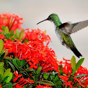 Beija-flor-de-barriga-branca (Plain-bellied Emerald)