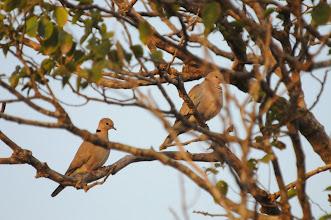 Photo: vinaceous dove