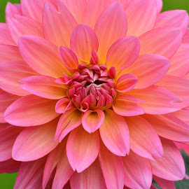 Spring Dahlia by Millieanne T - Flowers Single Flower