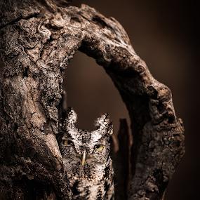 Screech Owl 2 by Chris Martin - Animals Birds ( bird, birds of prey, animals, nature, screech owl, owl, wildlife, birds,  )