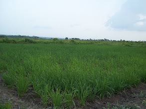 Photo: SRI plot in Dogba, Bonou, Benin. One month old rice field 2012. [photo by Pascal Gbenou]