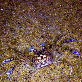 Natural camouflage by Bryan Gruber - Animals Other ( crab )