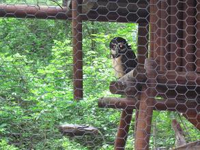Photo: Spectacled Owl at Monkey Park wildlife sanctuary