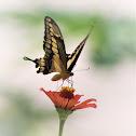 Western Giant Swallowtail