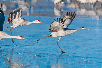 Photo: Sandhill cranes sliding on ice; Bosque del Apache