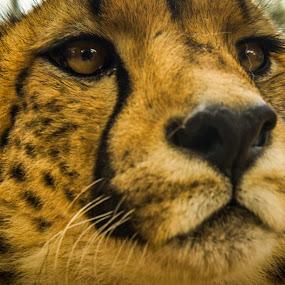 Cheetah by Ravi Patel - Animals Lions, Tigers & Big Cats