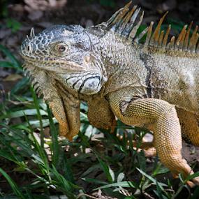Iguana  by Jim Signorelli - Animals Amphibians ( lizard, iguana )