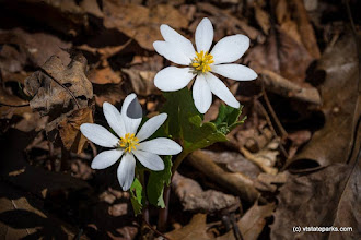 Photo: Spring brings out the bloodroot at Niquette Bay State Park by Elisabeth Finstad