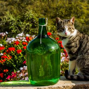 Cat by Alexandre Mestre - Animals - Cats Portraits ( cat )