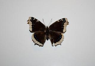 Photo: Nymphalis antiopa  Lepidoptera Nymphalidae