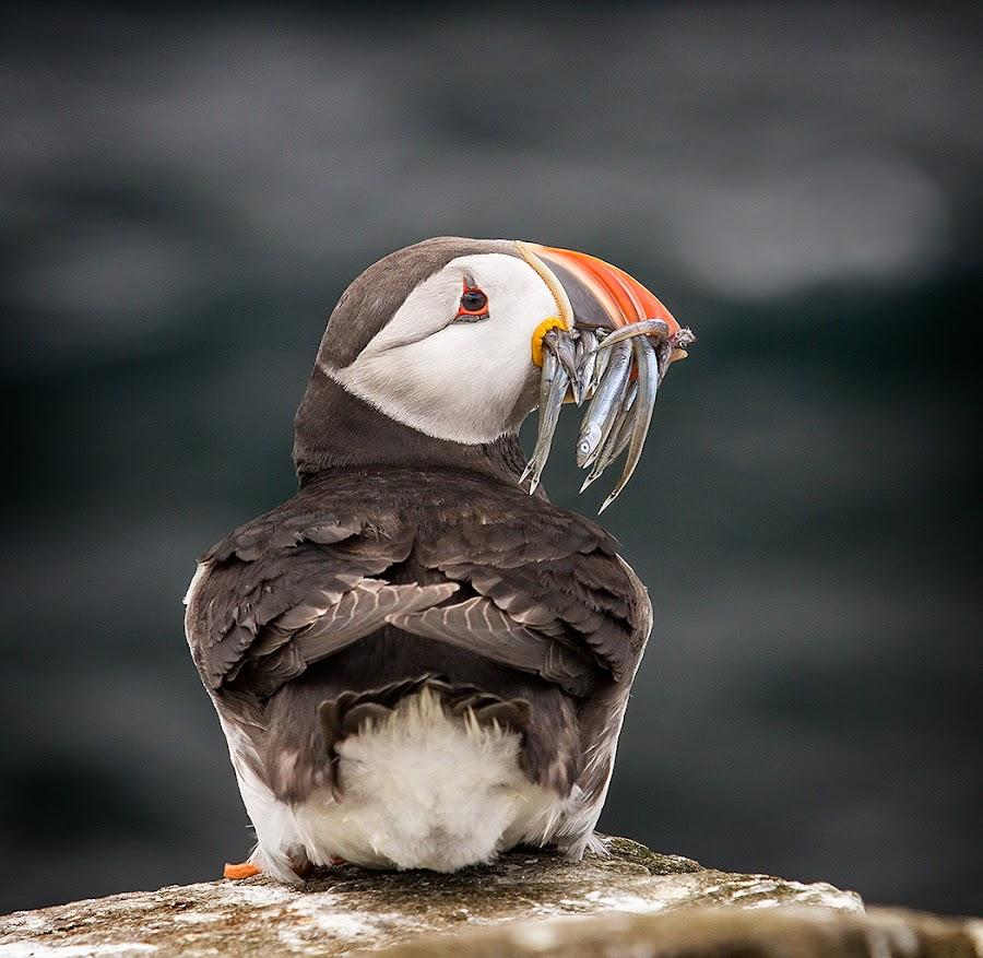 Puffin by Ian Pinn - Animals Birds ( sand, resting, northumberland, food, islands, farne, eels )