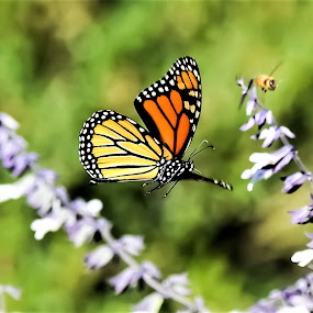 In Flight by Scot Gallion - Animals Insects & Spiders ( monarch butterfly, flying butterfly, monarch& bee, monarch, flying monarch,  )