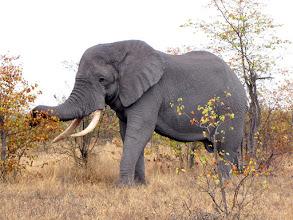 Photo: Kruger NP - elephant