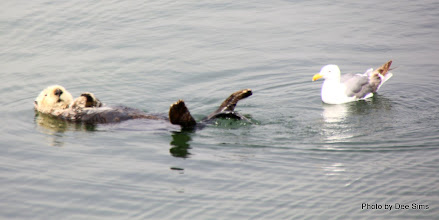 Photo: (Year 3) Day 20 - Otter Floating #8