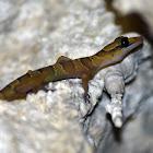 Intermediate bow-fingered gecko